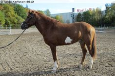 Estonian Native / Klepper - gelding Amigo XI