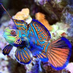Pez Mandarín: Es un pequeño pez de colores brillantes. Es oriundo del Océano Pacífico.