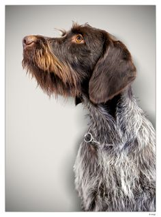 German Shorthaired Pointer German Wirehaired Pointer Pup ~ Classic Look - I love this girl! Shot at the Winner Show in Amsterdam. Pet Dogs, Dogs And Puppies, Dog Cat, Pets, Labrador Puppies, Retriever Puppies, Corgi Puppies, Pointer Puppies, Pointer Dog