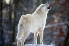 Howl at the moon                  An Arctic wolf howls at Wolfspark Werner Freund in Germany on Jan. 24.