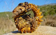 Animals You May Not Have Known Existed - Thorny Dragon