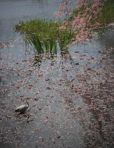 410:「公園は城址公園なので濠跡の沼があります。桜散る沼で青鷺を見つけて撮影しました。」@千秋公園