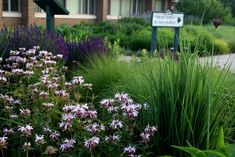Monarda bradburiana, Panicum 'Northwind' is in the foreground, with Sporobolus heterolepis, or Prairie Dropseed, behind it. The purple blooms to the back left are from Salvia 'Wesuwe'