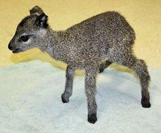 Baby Klipspringer-OMG!! looks like a little toy.  {zooborns.com}