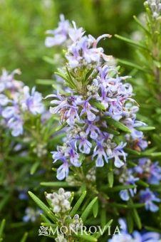 Spice Islands Rosemary - Monrovia - Spice Islands Rosemary
