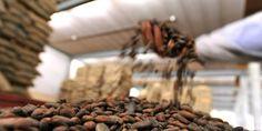 """""""La fève de cacao, avec plus de 20 000 composants, est aussi complexe que le pétrole brut"""", remarque Herwig Bernaert, responsable de l'innovation."""