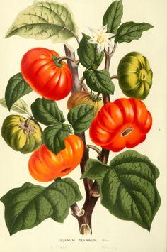 Botanical - Flore des Seres et Des Jardins de L'Europe - Tomato (Solanum sp.)