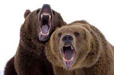 """Two Brown bears roar at the camera  ~  [The Bears Are Probably Yelling """"Get OUT & STAY OUT!}"""