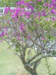 bougainvillea growing and blooming at San Fernando Hills, Trinidad