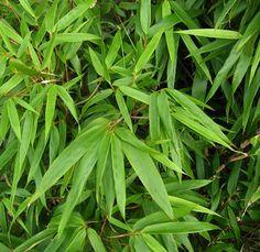 Fargesia bamboe die niet woekerd in de tuin - Fargesia of Sinarundinaria als haagplant om niet woekerende hagen mee aan te planten