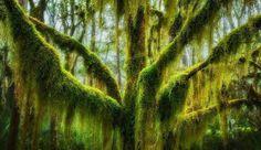 Antarctic Beech Draped In Hanging Moss In Oregon