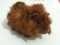 Baby Guinea Pig HD Wallpapers Free Wallpaper