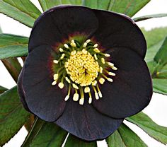 Helleborus Night Coaster - White Flower Farm It took nine years to develop these 3in, slate-black flowers with pale green centers. 'Night Coaster' offers many elegant possibilities for spring combinations. We'd start with Pulmonaria and Snowdrops.