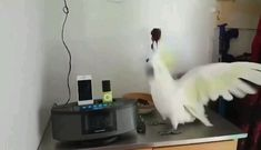 Funny bird video funny parrot compilation wait for the drop funny animals funny pets cute parrots parrot bird cutebird petlovers funny goose and dog videos funny animals videos try not to laugh challenge video meme memes cute animals funny Funny Birds, Cute Birds, Cute Funny Animals, Cute Baby Animals, Animals And Pets, Funny Pets, Cute Cats, Wild Animals, Funny Humor