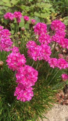 Pretty in pink 😊 Flowers full of cheer. Beautiful Flowers Photos, Beautiful Flowers Garden, Flower Photos, Amazing Flowers, Pretty Flowers, Beautiful Pictures, Dark Flowers, Pastel Flowers, Simple Flowers