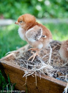 Chickens.  Need chickens.