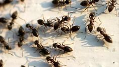 A homemade borax ant killer is a safe and effective way to rid your home of pesky ants. You can feel good about knowing what is in the product, unlike when buying professional ant killers from the.