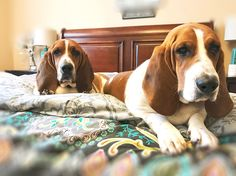 Breakfast please! Basset hound