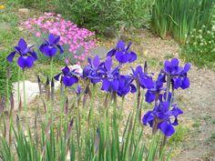 blueiris05302010.jpg (1000×750)