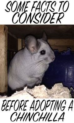 Chinchillas: Some Facts To Consider Before Adopting
