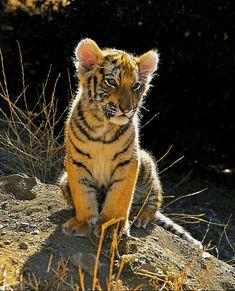 Sweet tiger cub Tiger Art, Tiger Cubs, Tiger Tiger, Beautiful Cats, Animals Beautiful, Cat Diary, Baby Cubs, Big Animals, Big Cats