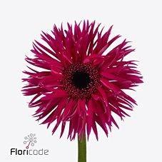 Germini Spider Fantasia is a pretty Cerise cut flower.