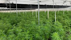 How weed farming is destroying the planet | Living Strange Things Are Happening, Indoor Farming, Cannabis Edibles, Buy Weed Online, Companion Planting, All Flowers, Farmer, Planets, Environment