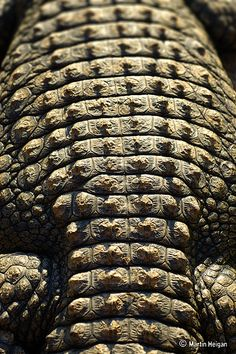Nile Crocodile Skin Macro Photograph  (looks like a jeweled piece of art. I guess it actually is)