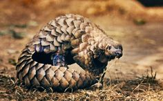 We're Eating Pangolins Off the Face of the Earth. PLZ SIGN & SHARE PETITION!