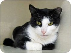 Adopt a Pet :: Photo 1: Boots - Riverhead, NY -  Domestic ShorthairMix