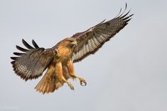 Red-tailed Hawk. He's majestic and fierce.  But I so hate watching him feed in my yard.  Breaks my heart.