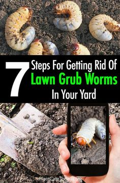 Lawn Grubs 7 Steps For Getting Rid Grub Worms In Your Yard is part of lawn Care Grubs - Lawn grubs Japanese beetle larvae are notorious for destroying lawns, grub worms create brown patches you can easily pull out [LEARN MORE] Garden Insects, Garden Pests, Garden Bugs, Vegetable Garden, Organic Gardening, Gardening Tips, Indoor Gardening, Gardening Quotes, Grub Worms