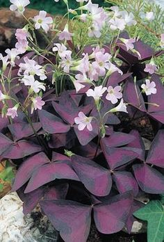 Purple Oxalis (Oxalis regnellii var. triangularis) if in a container can be in a shady spot outdoors for spring and summer, then brought indoors to serve as a houseplant. The oxalis is aka the shamrock. (Click for more info.)                                                                                                                                                     More