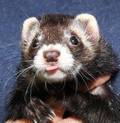 Broward Ferret Rescue & Referral - Ferret Adoption And Surrenders, Ferret Rescue, Ferret Rescue Organizations