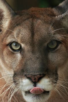 Cougar by Dave Irving