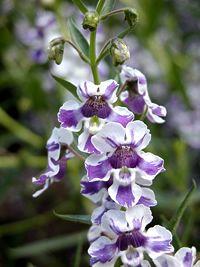 Angelonia angustifolia, flor o ano todo =)