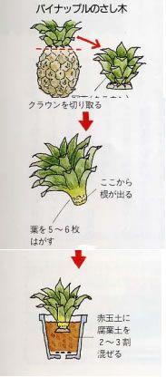 購入したパイナップルの果実の上についている葉を植えると、また果実がなると聞いたのですが、どのようにしたらよいですか。 ||| 『あさひかわの公園』 - 公益財団法人旭川市公園緑地協会 - Container Gardening, Gardening Tips, Asahikawa, Planting Flowers, Diy And Crafts, Fruit, Green, Nature, Plants