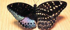 ¡Esta mariposa es mitad macho, mitad hembra!