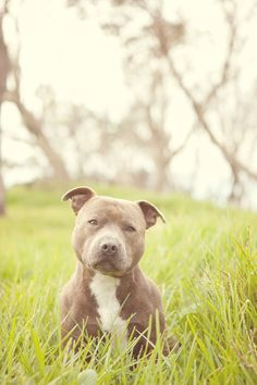 That face <3 #staffy #puppy #dog