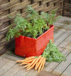 Growing carrots in containers is easy and you can get a decent harvest of this sweet and crispy vegetable even if you don't have a garden!