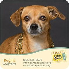 Santa Paula, CA - Chihuahua Mix. Meet Regina, a dog for adoption. http://www.adoptapet.com/pet/14588002-santa-paula-california-chihuahua-mix