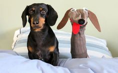 Crusoe The Celebrity Dachshund Explains How To Make A Dog Sock Puppet
