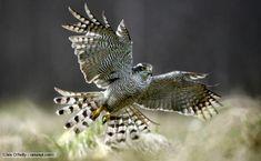 BBC Nature - Northern goshawk videos, news and facts