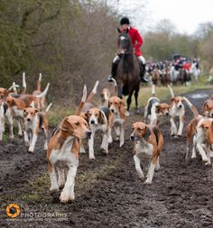 The Belvoir Hunt hounds with their Huntsman