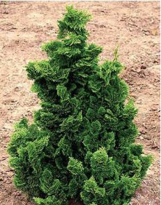 Dwarf Hinoki Cypress is a slow-growing accent conifer with dark green foliage and wonderful texture. Grows up to 9' H at maturity.