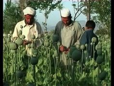 » Rumors Persist That The CIA Helps Export Opium From Afghanistan Alex Jones' Infowars: There's a war on for your mind!
