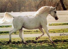Gabaryt grey arabian stallion