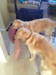 My friend's dogs pick up a pillow every time someone enters the house. - http://geekstumbles.com/funny/my-friends-dogs-pick-up-a-pillow-every-time-someone-enters-the-house/