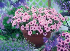 balkonblumen petunien pflanzen gartenpflanzen ideen