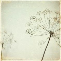By dawndh  queen anne's lace